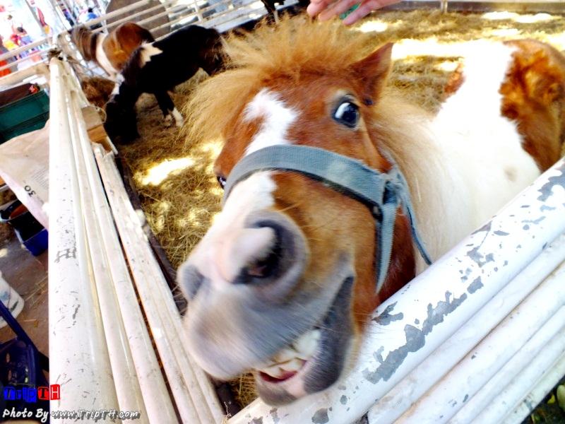 ม้าแคระ แฮร่ๆ