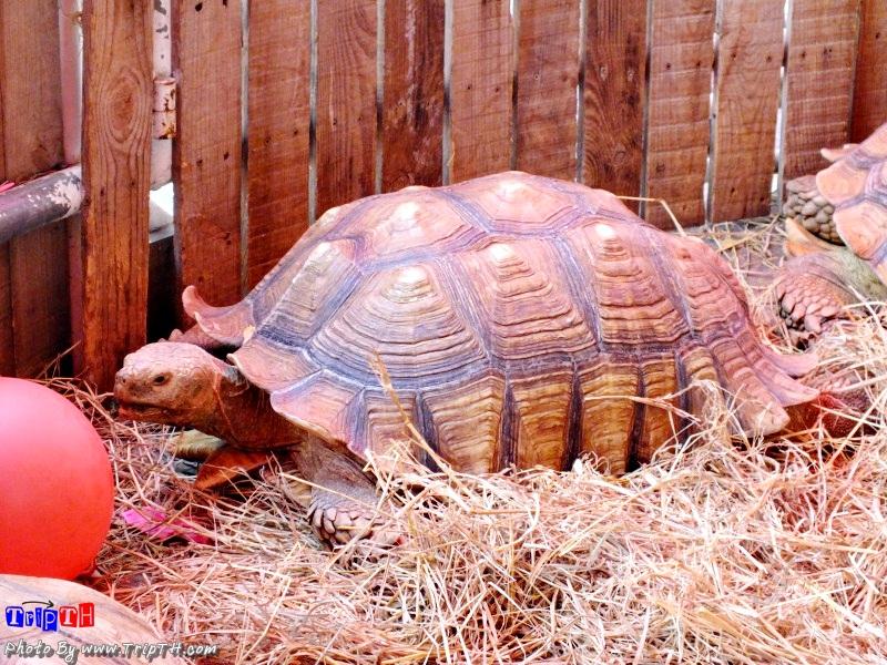 เต่ายักษ์ซูคาต้า