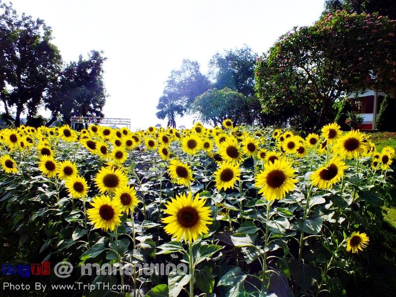 ดอกทานตะวันหน้าศาลสมเด็จพระเจ้าตากสินฯ (1)