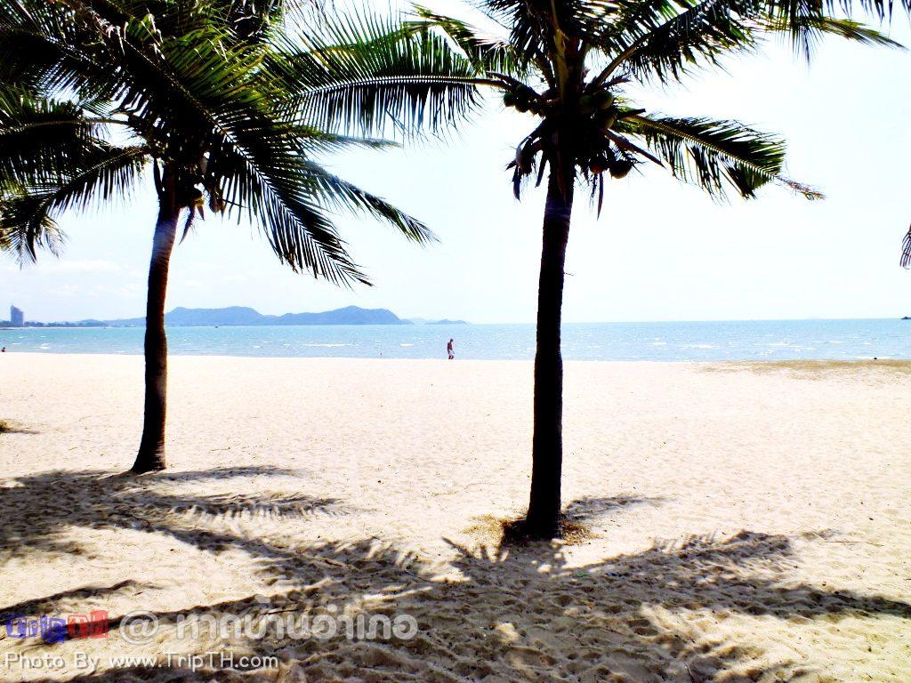 ต้นมะพร้าวบริเวณหาดบ้านอำเภอ (1)