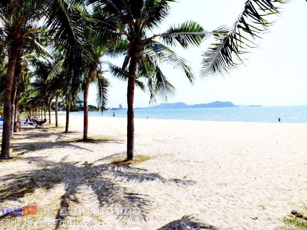ต้นมะพร้าวบริเวณหาดบ้านอำเภอ (2)