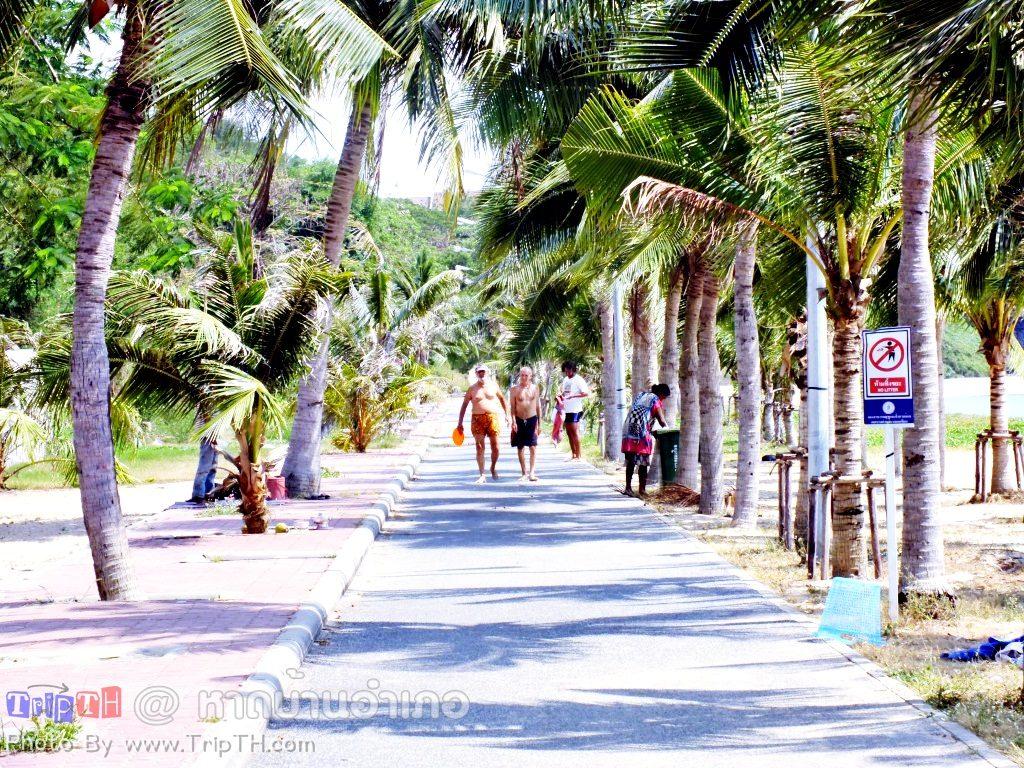 ต้นมะพร้าวบริเวณหาดบ้านอำเภอ (3)