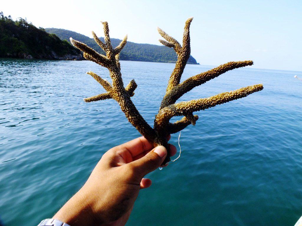 ตัวอย่างกิ่งพันธุ์ปะการังเขากวางที่นำไปปลูก