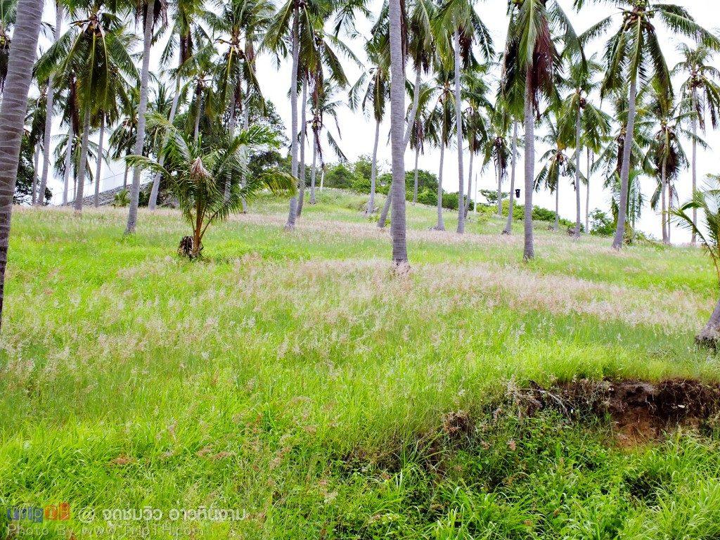 ทุ่งดอกหญ้า กับต้นมะพร้าว (1)ทุ่งดอกหญ้า กับต้นมะพร้าว (1)