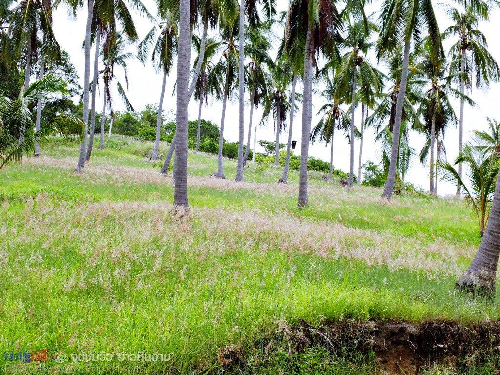 ทุ่งดอกหญ้า กับต้นมะพร้าว (2)
