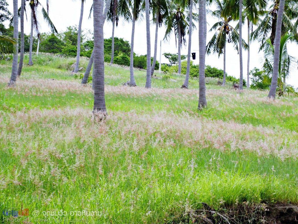 ทุ่งดอกหญ้า กับต้นมะพร้าว (3)