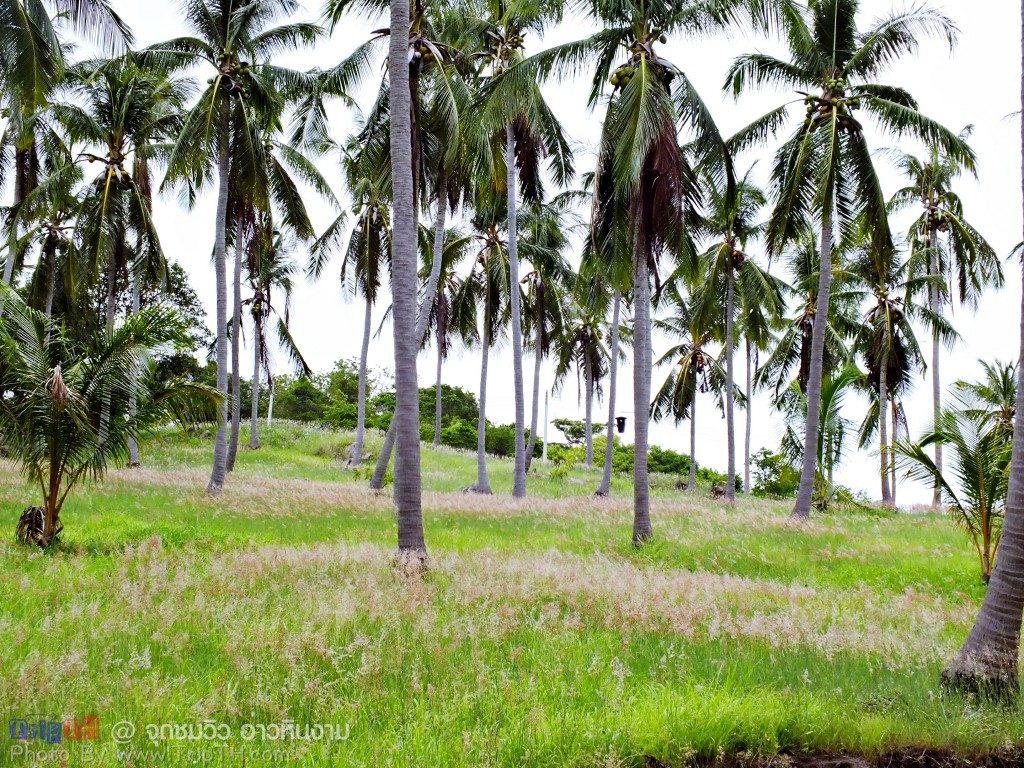 ทุ่งดอกหญ้า กับต้นมะพร้าว (4)