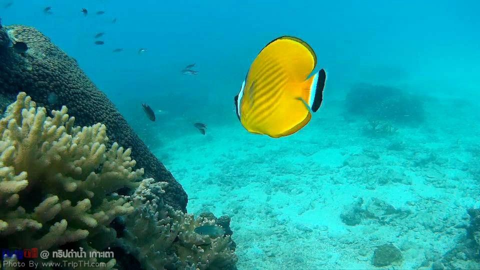 ปะการังเยอะมาก @ เกาะเต่า (4)
