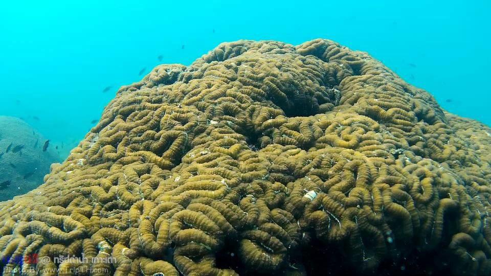 ปะการัง อ่าวลึกเกาะเต่า (4)