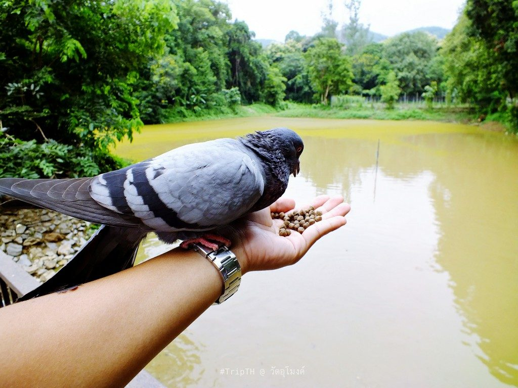 นกพิราบ วัดอุโมงค์ (สวนพุทธธรรม) (1)