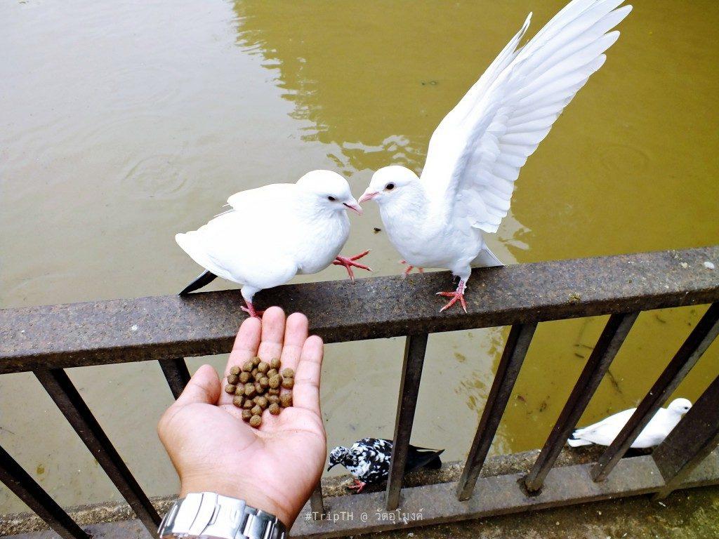 นกพิราบ วัดอุโมงค์ (สวนพุทธธรรม) (2)