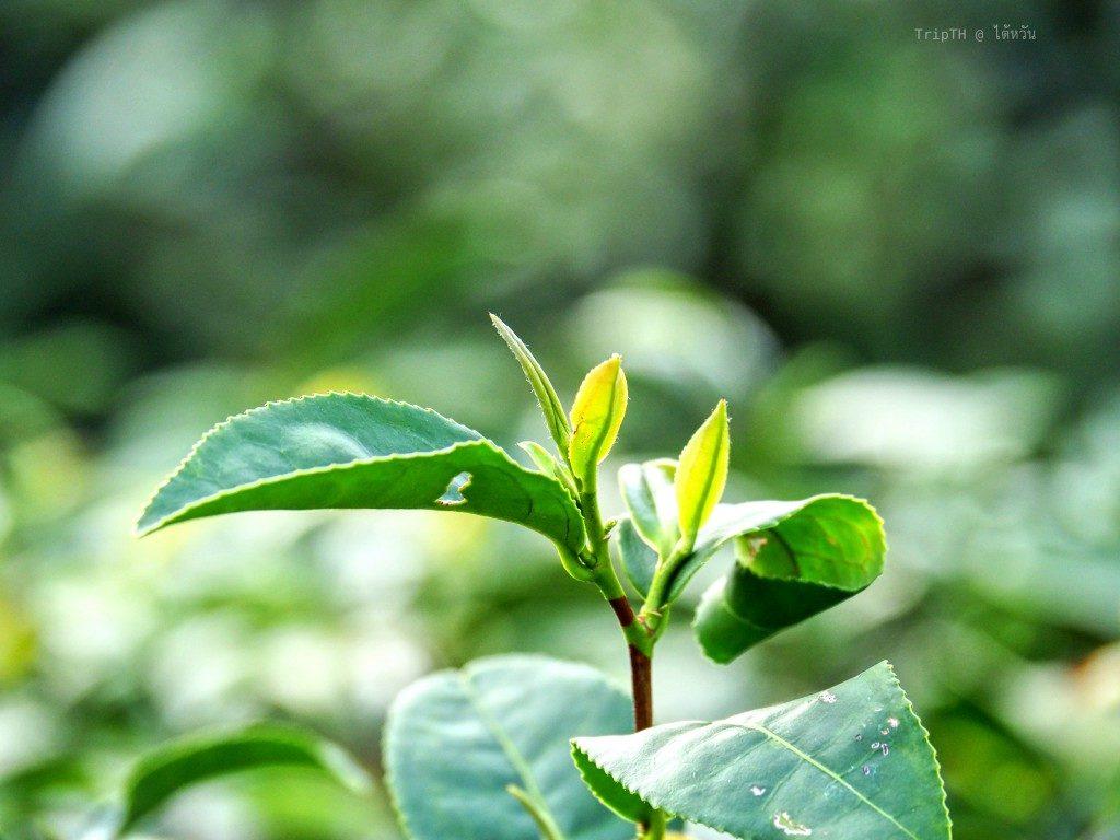 ชาอู่หลง ไต้หวัน (3)