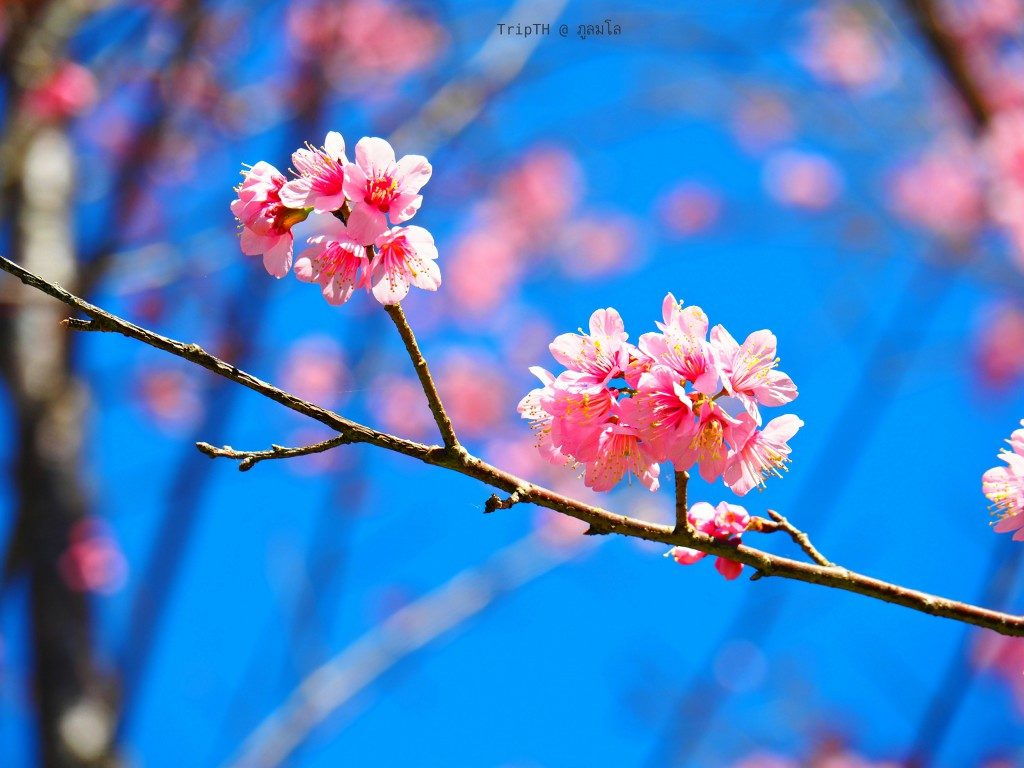 ดอกนางพระยาเสือโคร่ง ภูลมโล (1)