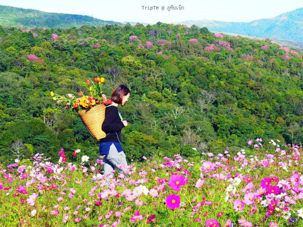ดอกไม้ ภูทับเบิก (1)