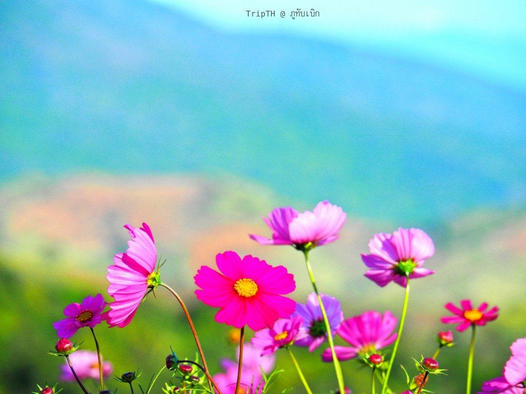ดอกไม้ ภูทับเบิก (2)