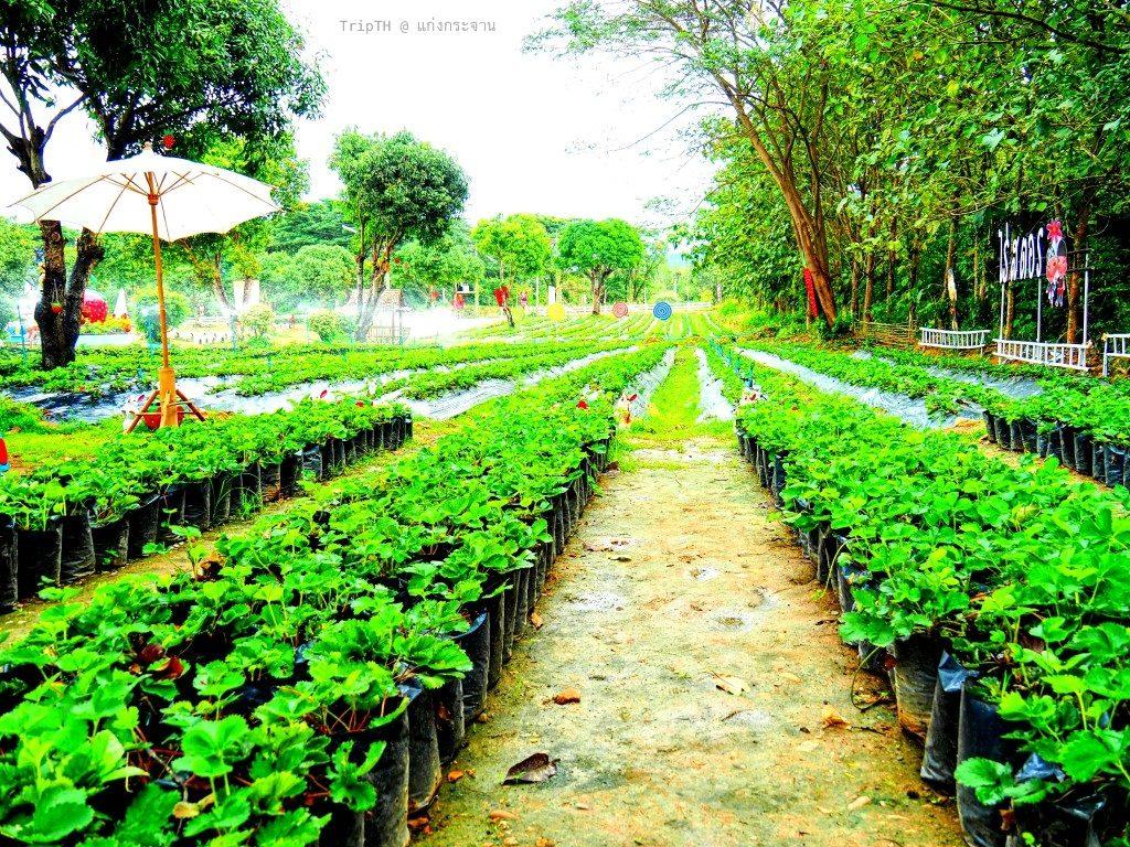 สวนสตรอว์เบอร์รี แก่งกระจาน (2)