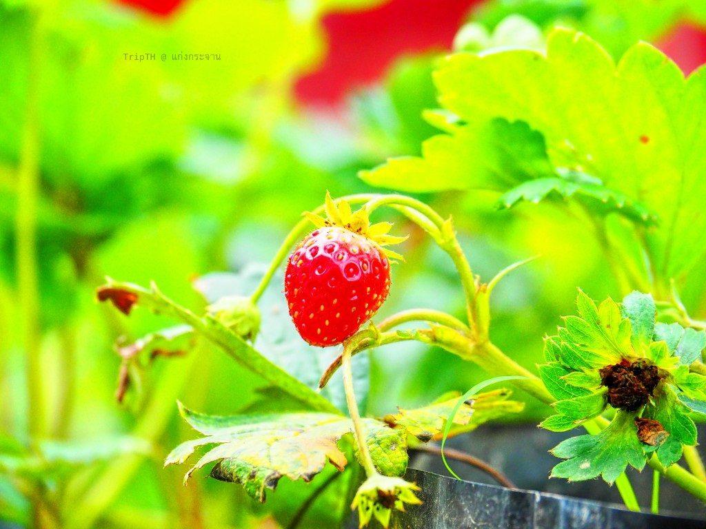 สวนสตรอว์เบอร์รี แก่งกระจาน (3)