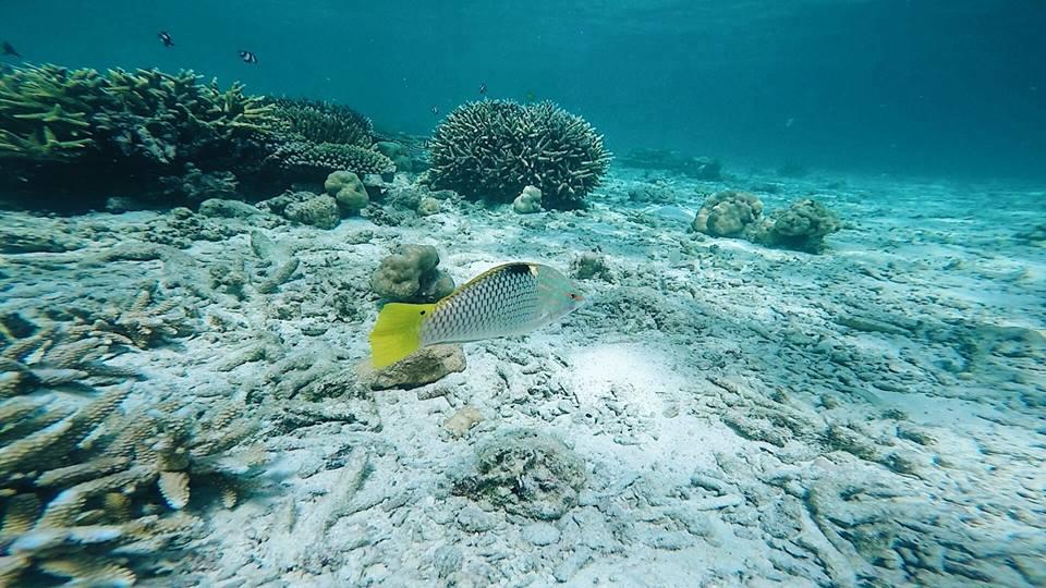 ปลาหางเหลือง คิ้วท์เชียว
