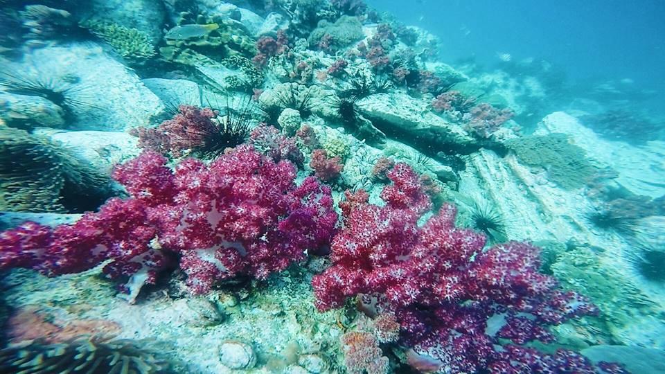 ปะการังอ่อนเยอะมากค่ะที่นี่ สีชมพูดูน่ารักกรุบกริบ