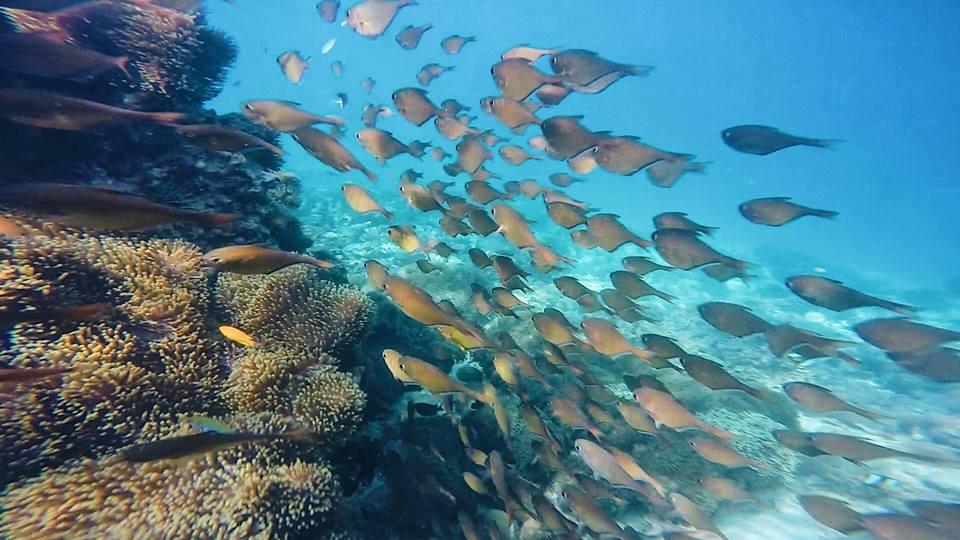 ส่วนกองหินปะการังก็จะมีฝูงปลาน้อยใหญ่ว่ายวนเวียนอยู่รอบๆภูเขาใต้น้ำนี้