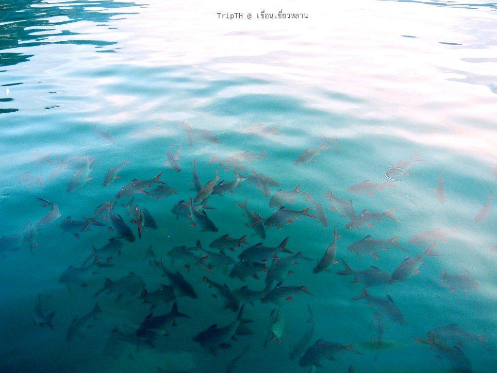 ปลาหน้าแพ