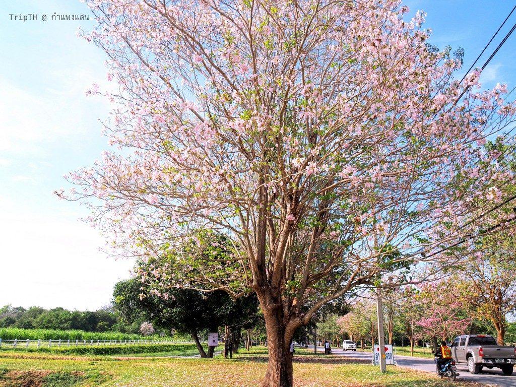 ดอกชมพูพันทิพย์ กําแพงแสน (2)