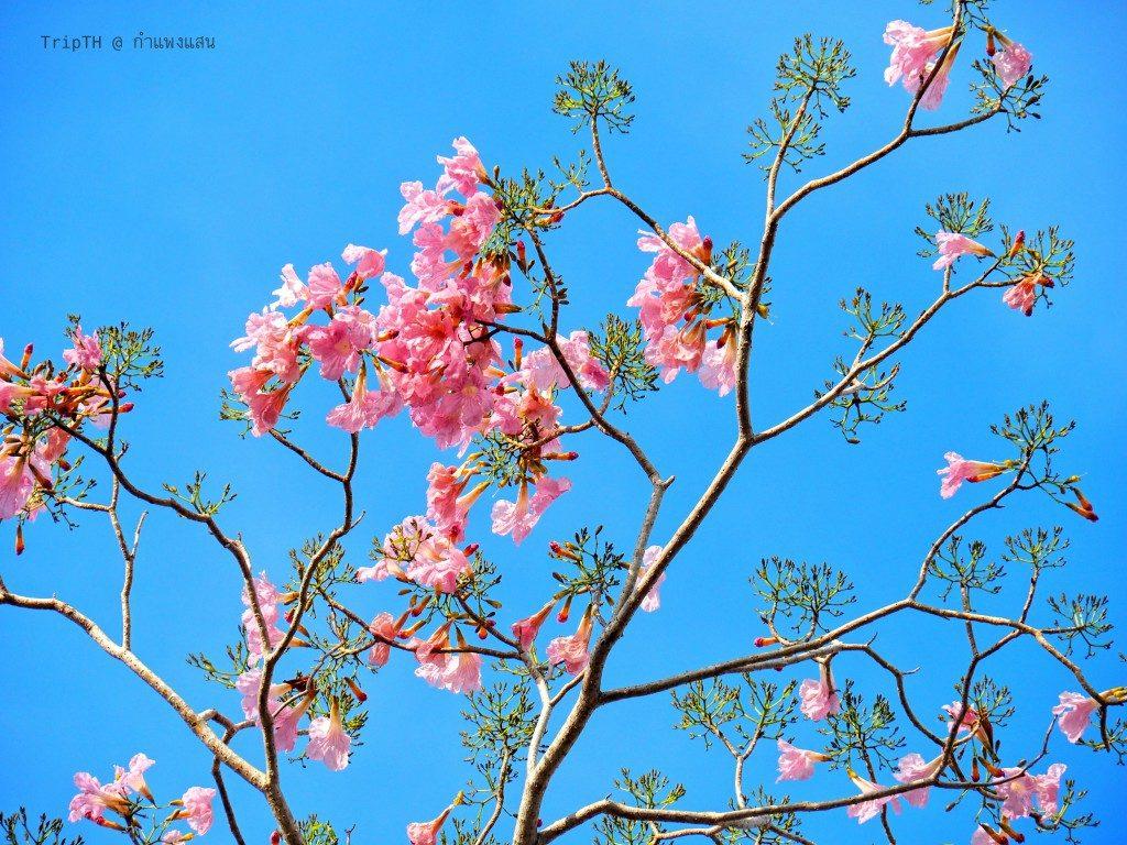 ดอกชมพูพันทิพย์ กําแพงแสน (4)