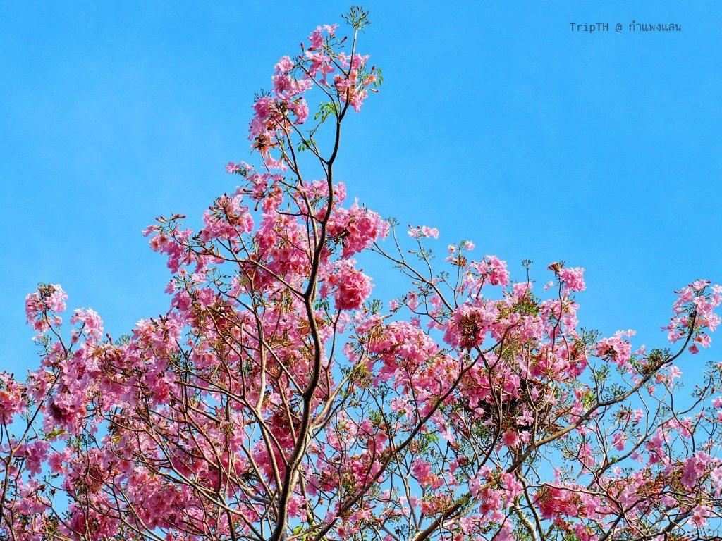 ดอกชมพูพันทิพย์ ม.เกษตร กําแพงแสน (5)