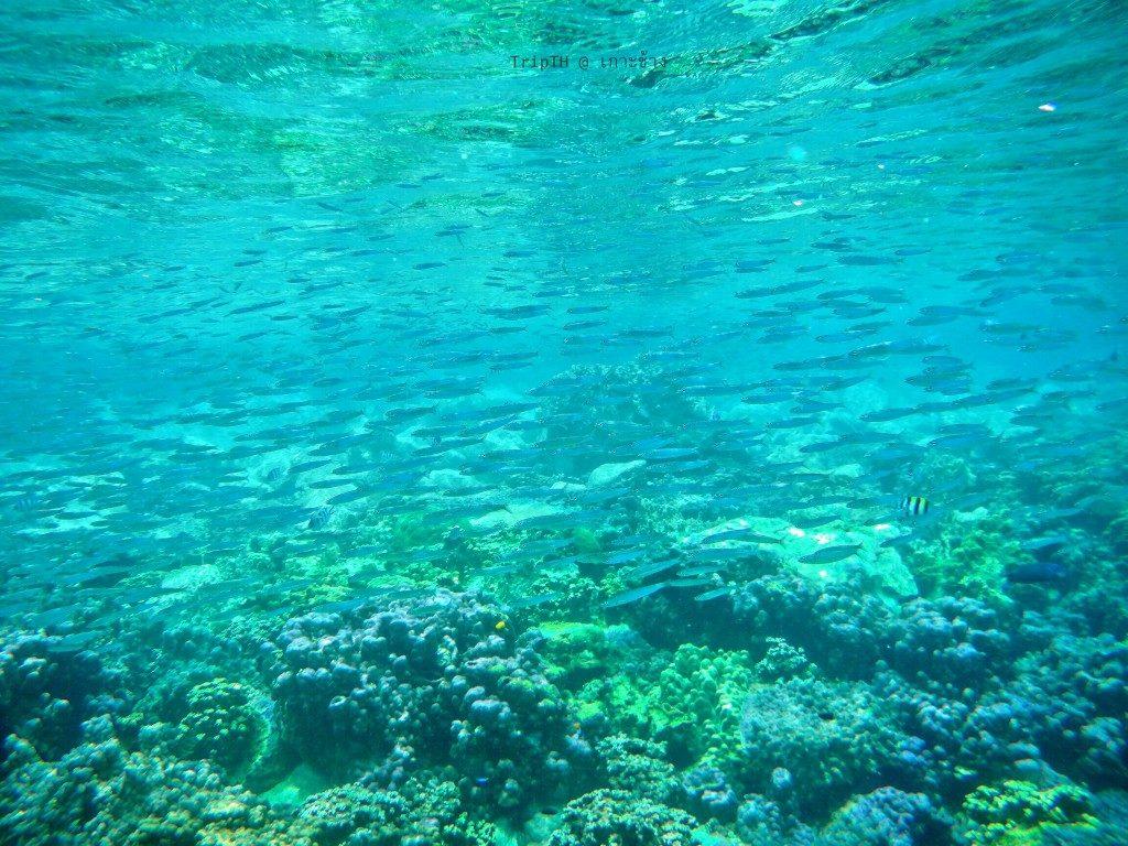 ดำน้ำเกาะยักษ์เล็ก (4)