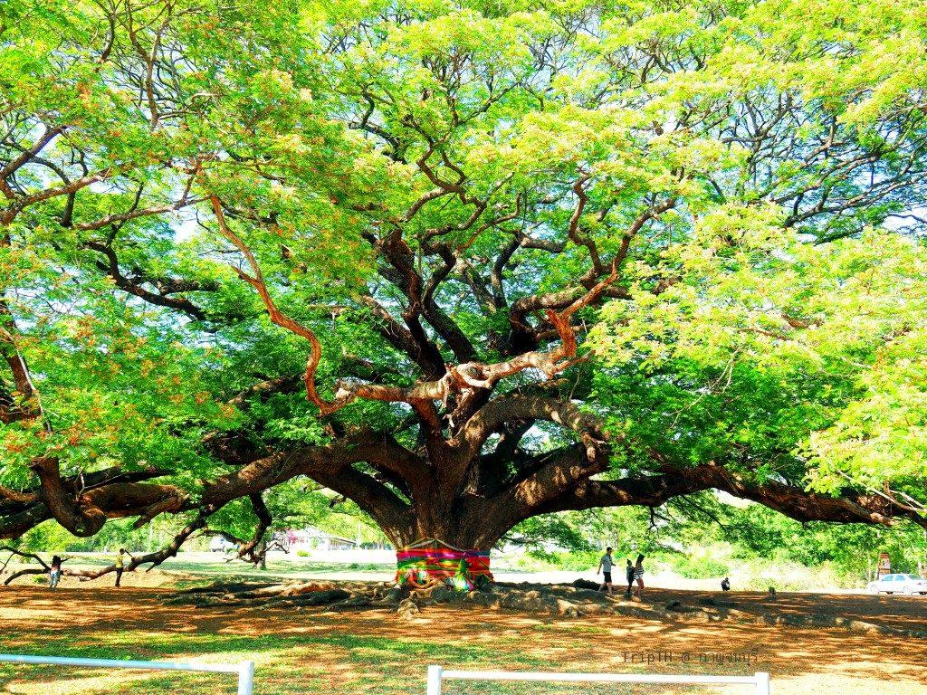 ต้นจามจุรียักษ์ (1)