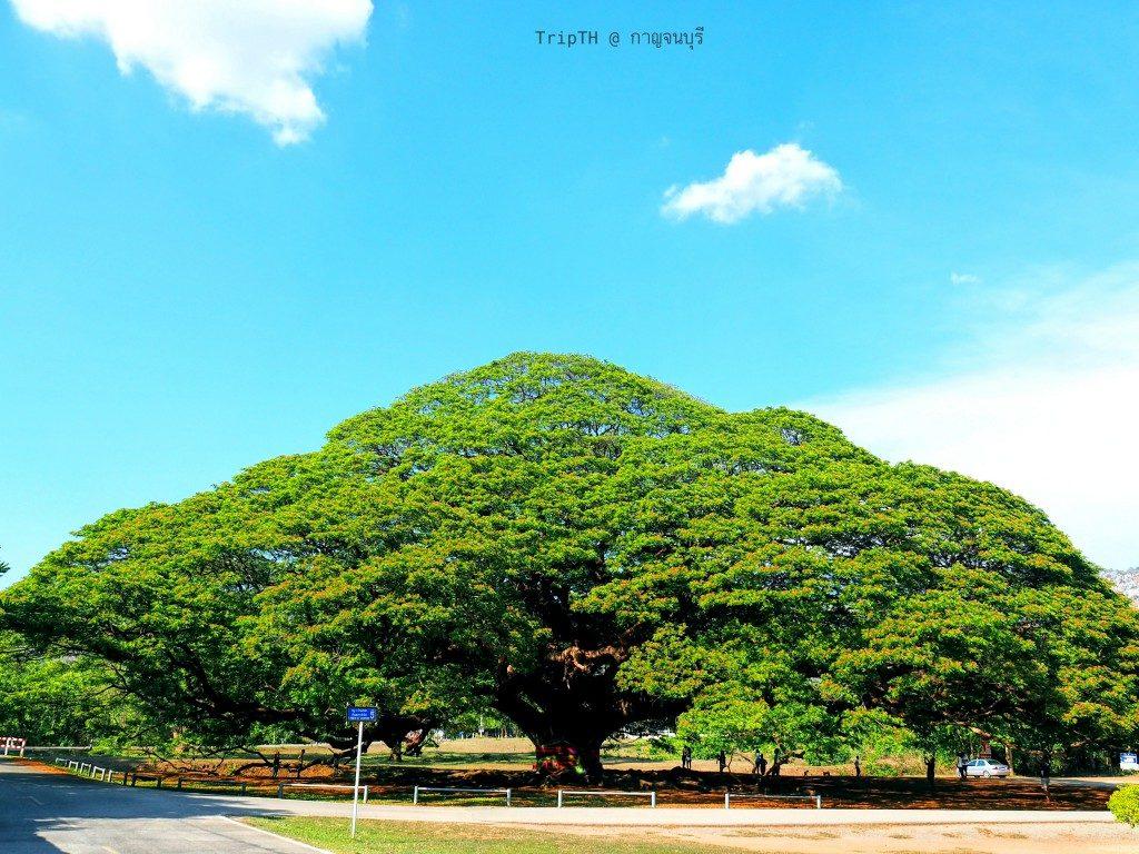 ต้นจามจุรียักษ์ (2)