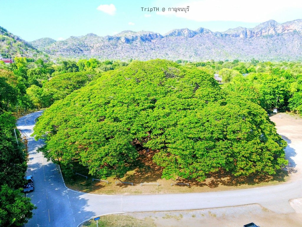 ต้นจามจุรียักษ์ (3)