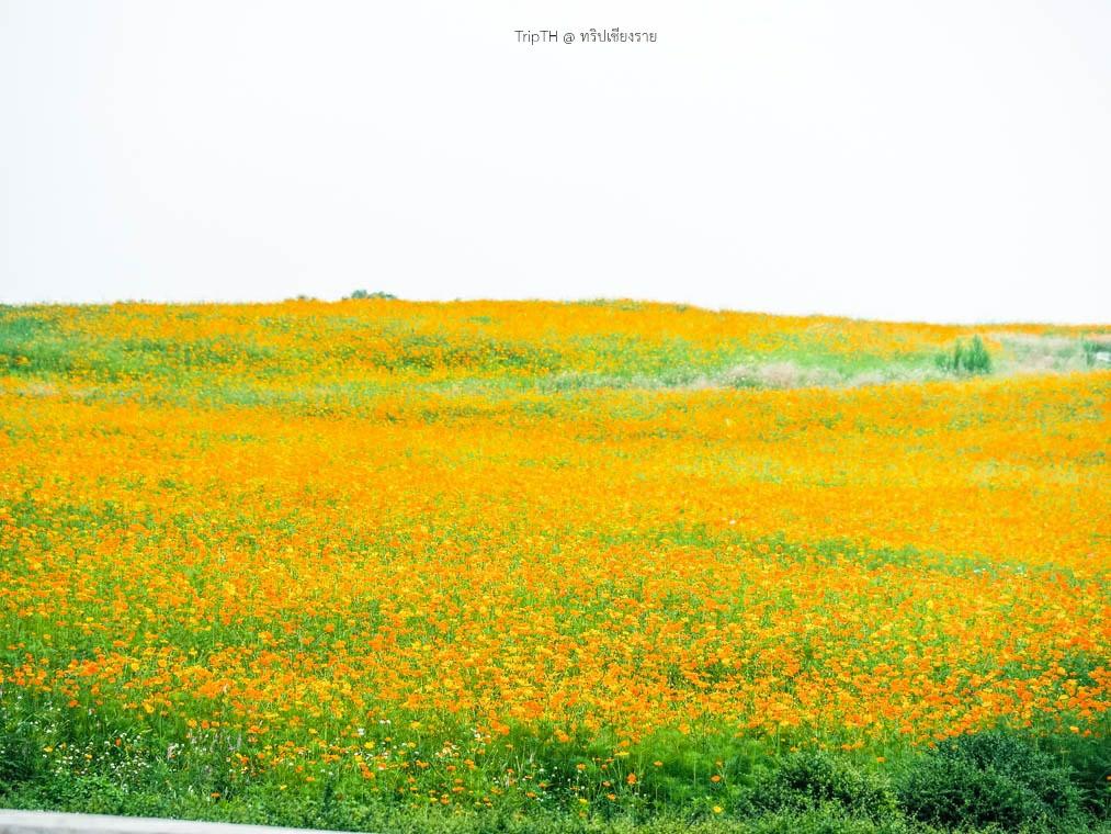 ดอกคอสมอส สิงห์ปาร์ค (2)