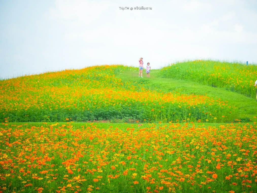 ดอกคอสมอส สิงห์ปาร์ค (4)