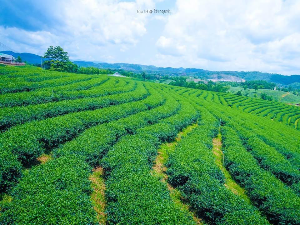 ไร่ชาฉุยฟง (Choui Fong Tea)