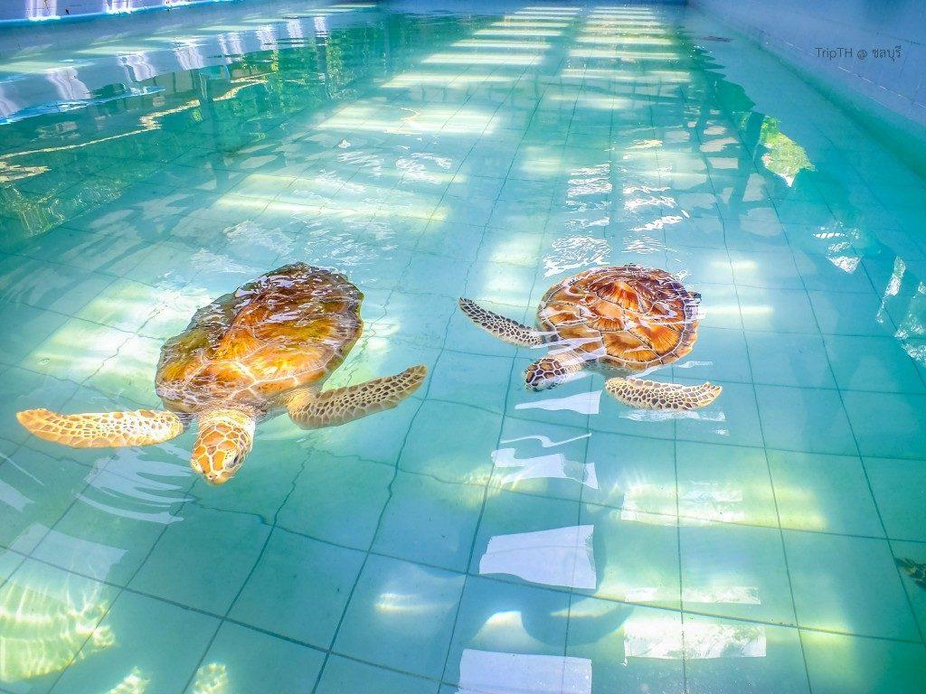 ศูนย์อนุรักษ์พันธุ์เต่าทะเล (2)
