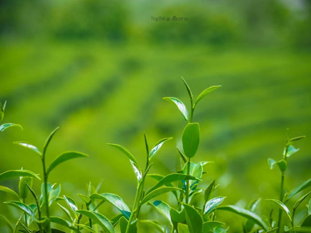 ไร่ชาฉุยฟง เชียงราย (1)