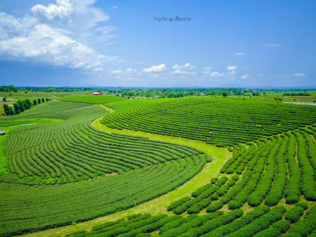 ไร่ชาฉุยฟง เชียงราย (2)