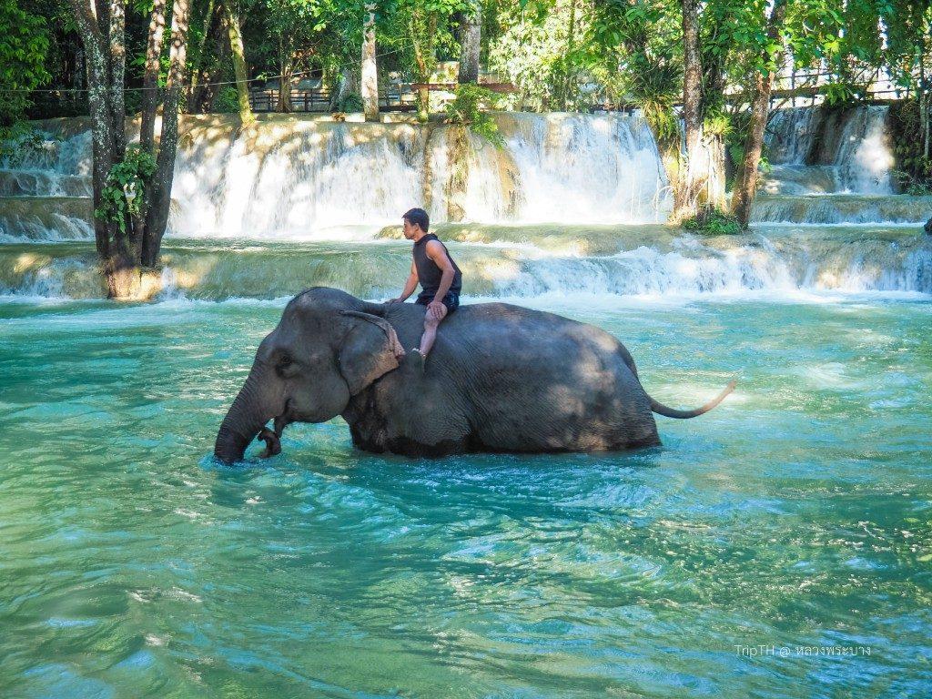 ช้างน้ำตกตาดแส้ (1)