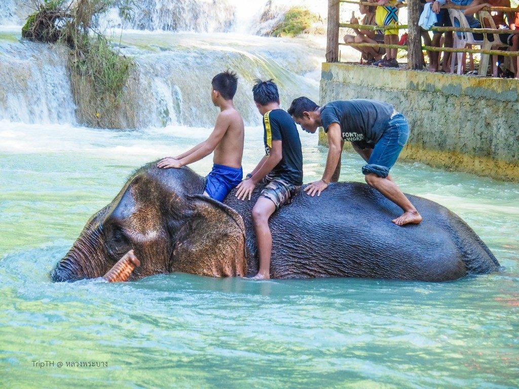 ช้างน้ำตกตาดแส้ (2)